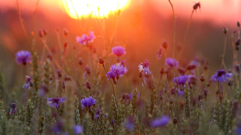 Bee Removal Service Blue Cone Flowers Sunset by Tauri Parna-CC-BY-SA-4.0