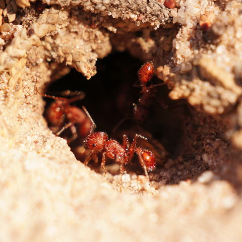 Harvester Ant Control Facts Types How To Get Rid Of Harvester Ants Traffic Pest Solutions