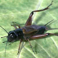 Cricket Control Facts How To Identify Get Rid Of Crickets